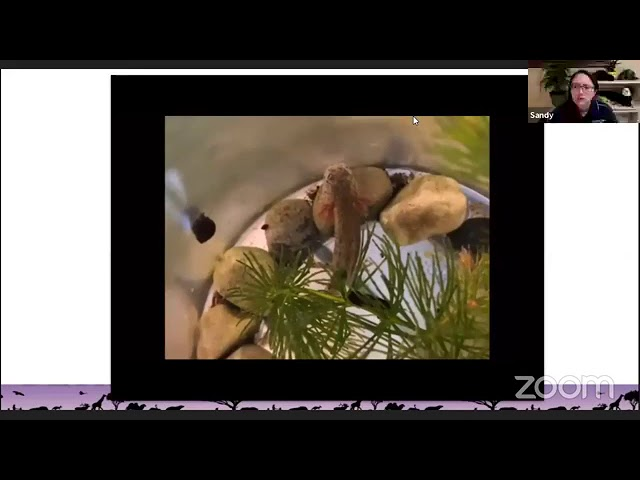 Virtual Vitamin Z | Zoo Educational Lesson: Tokyo Salamanders