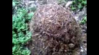 Zwierzęta Świata #2 Krwiożercze Mrówki
