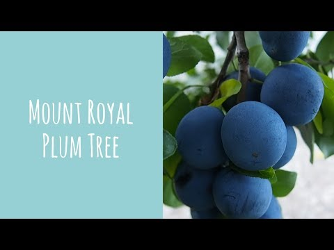 Growing A Mount Royal Plum