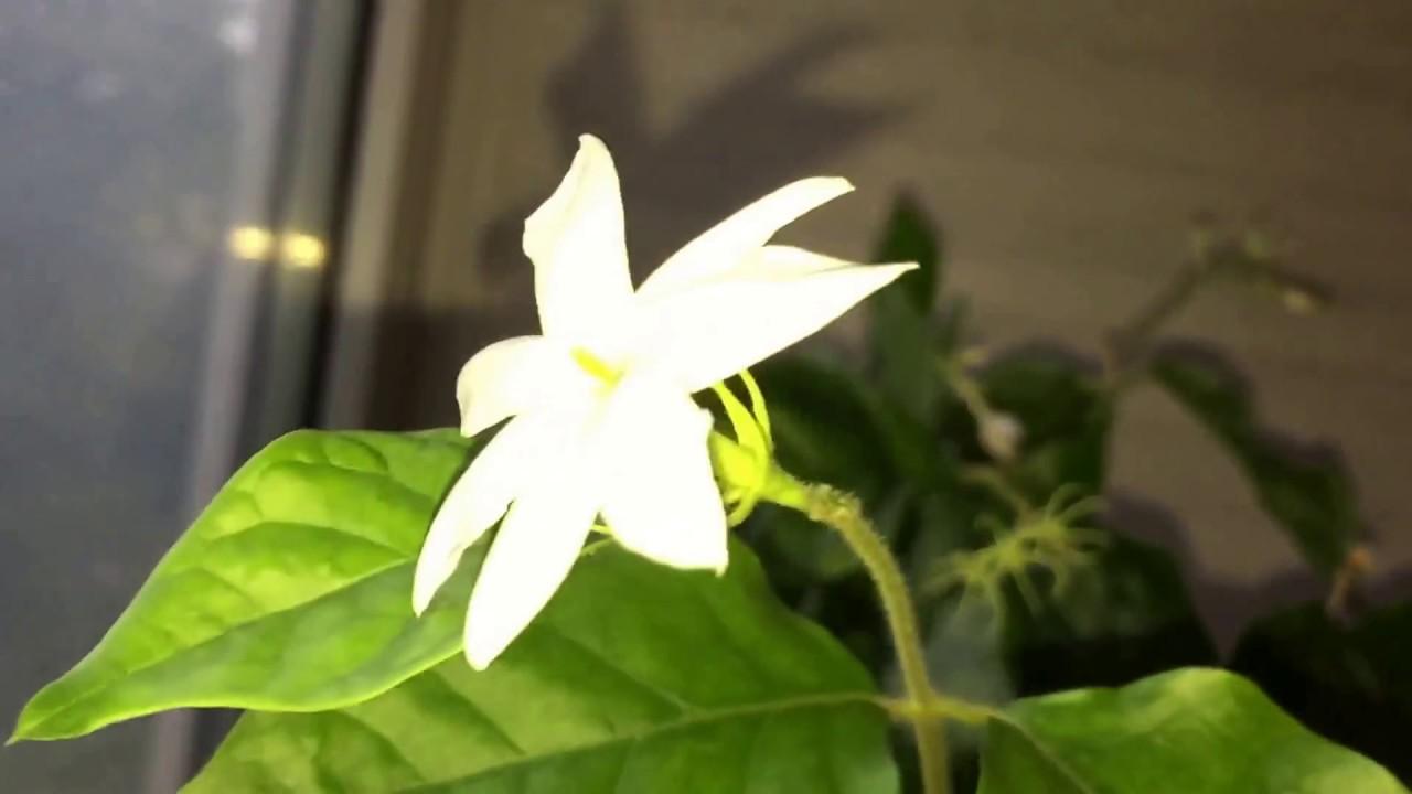 Жасмин (Jasminum) — цветок с царским ароматом, видео 25.06.2017 .