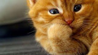 Милые котята Лающий котенок Выпуск от смешных животных