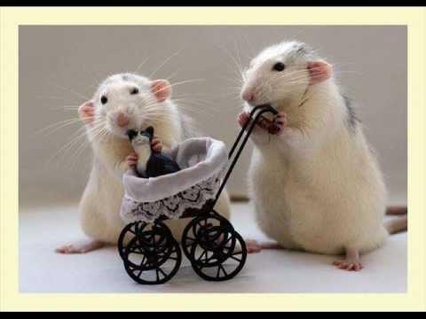 Szczury Najpiekniejsze Z Gryzoni Youtube