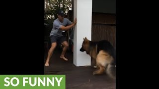 Learn how to play tag with a German Shepherd!