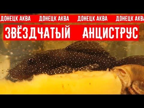 советы по разведению, Анциструс звездчатый, Ancistrus hoplogenys, Ancistrus魚, Ancistrus fish