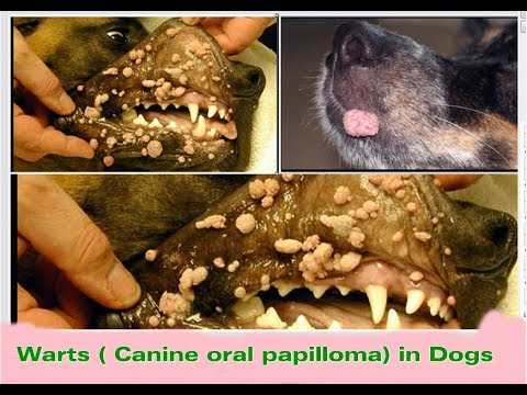papilloma oral in dogs)