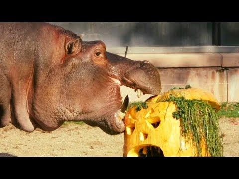 Watch Animals At Antwerp Zoo Enjoy Pumpkin Treats Youtube