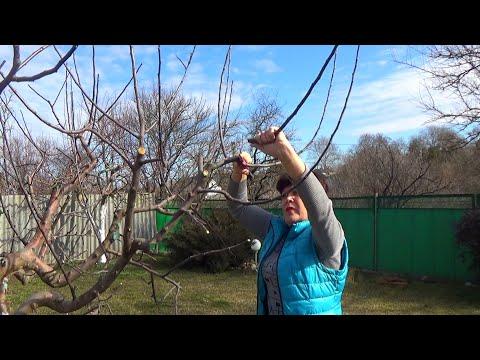 Обрезка яблони весной Как правильно обрезать