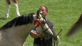 Merlod Cymreig Teip Cob Ebolion 3 | Welsh Ponies Cob Type Colt 3yr old