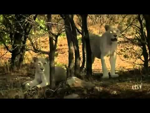 Wild White Lions of South Africa PBS Nature & Animals Documentary sa prevodom NEW