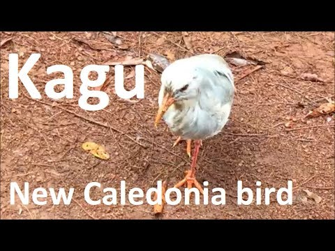 The kagu of New Caledonia