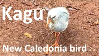 The kagu of New Caledonia tropical bird than can 39 t fly