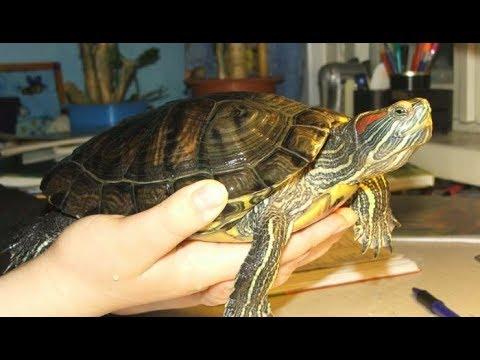 Красноухие черепахи опасны?/Мифы и правда о черепахах