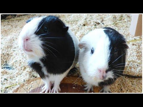 Wheek-ly Vlog 75: 7 Squeaking Guinea Pigs