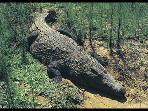 World's Biggest Crocodiles - YouTube