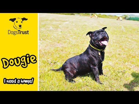 Dougie is a Little Staffordshire Bull Terrier Looking for His Special Someone! | Dogs Trust Shoreham