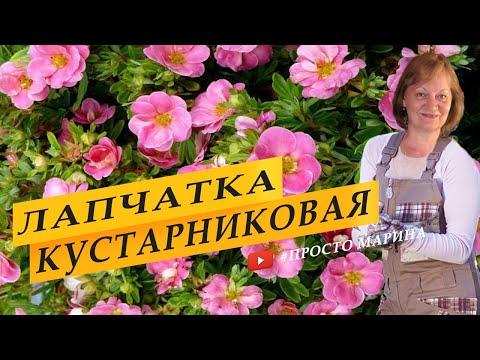 Вопрос: Лапчатка непальская Мисс Вильмонт, каким цветом цветет?