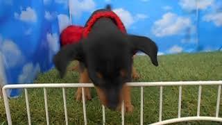 ペットショップ 犬の家 尼崎店 「96513」「ミニチュア・ピンシャー」