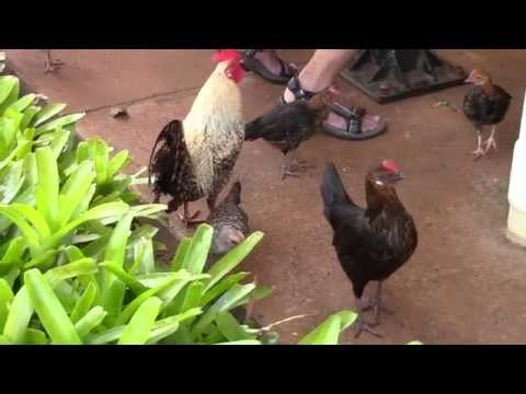 Rooster and Chicks Everywhere at Dole Plantation Honolulu, HI
