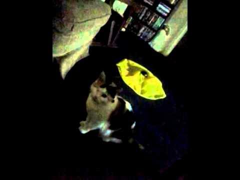 Talking manx cat
