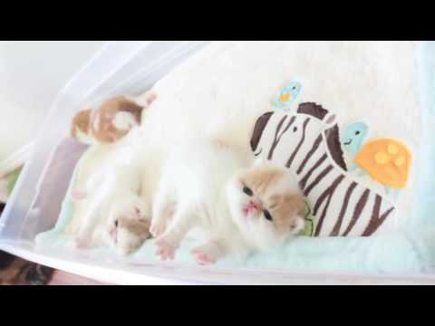 Котята экзоты - экзотические короткошерстные котята