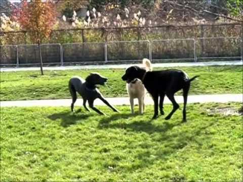 Great Dane Puppies Pla...
