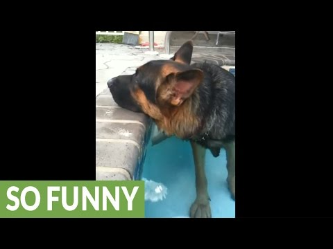 German Shepherd too tired to exit pool