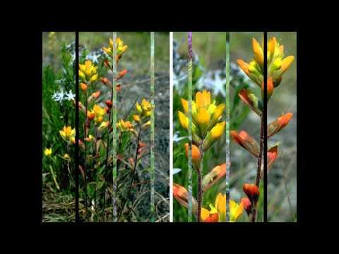 сафлор растение фото