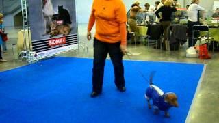 Выставка-продажа собак мелких пород.часть 1