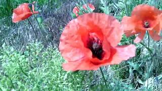 Мак  Цветущие красные маки колыхаются на ветру