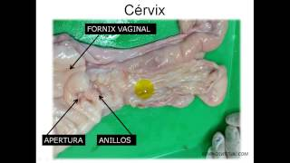 INSEMINACIÓN ARTIFICIAL EN BOVINOS - Anatomía del Aparato Reproductor de la Vaca l
