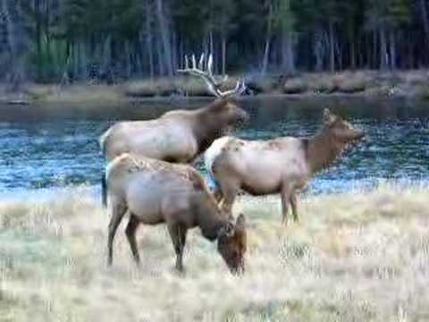 Yellowstone Elk Bugling