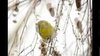 Amazing bird (Чиж Carduelis spinus птичка за окном)