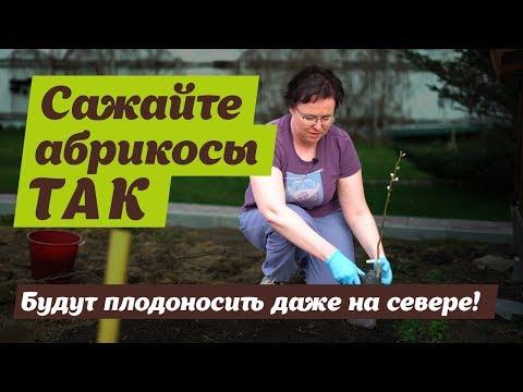 Как сажать абрикос осенью саженцами