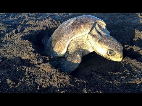 Im Nest der Meeresschildkröte - ARTE Doku