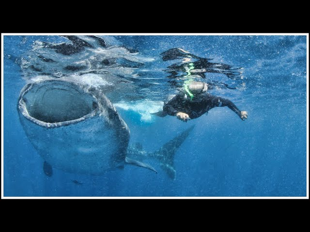 Cozumel Swim with Giant Whale Sharks is Amazing