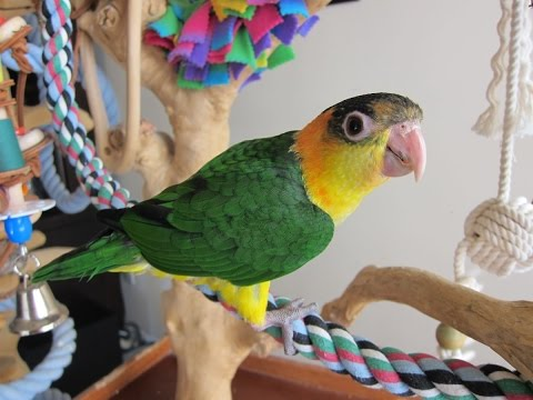 Tricky — 13 week old Baby White Bellied Caique