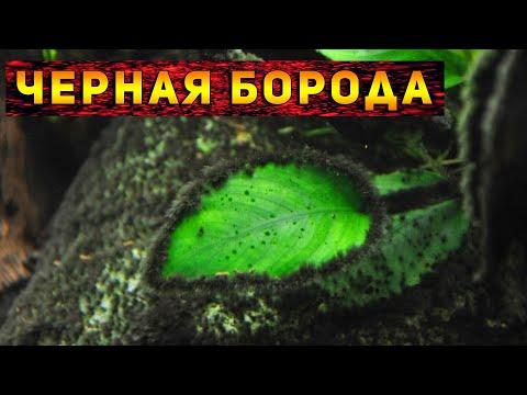 Чёрная борода в аквариуме, как избавиться от водорослей в аквариуме! Способы удаления водорослей!
