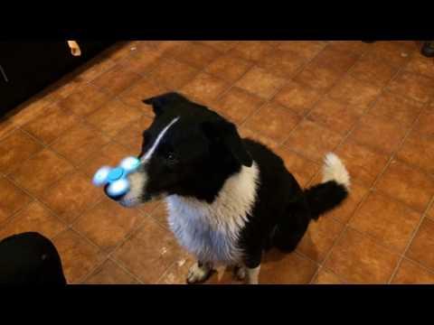 Neo & the fidget spinner (incredible dog tricks)