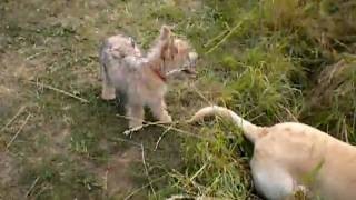 Cairn Terrier Puppy Playing With Lab,
