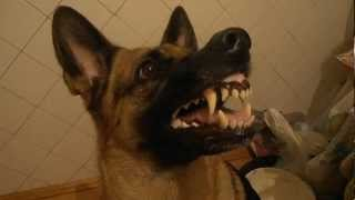 Śmieszny pies reaguje na komendy