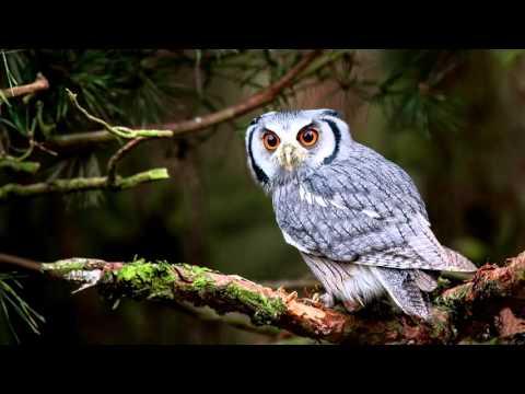 Как кричит сова слушать