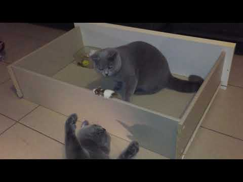 Cat British Short Hair Playing Real Mouse
