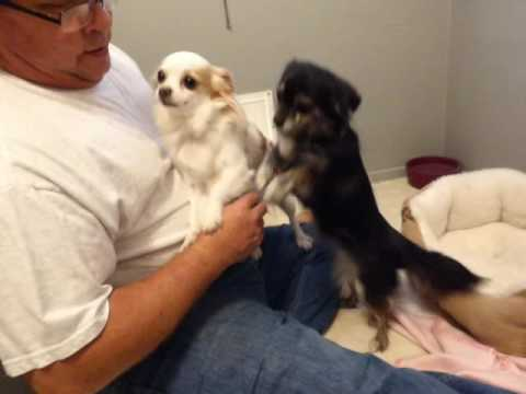 Adult Long haired Chihuahuas Available for Adoption - Oregon