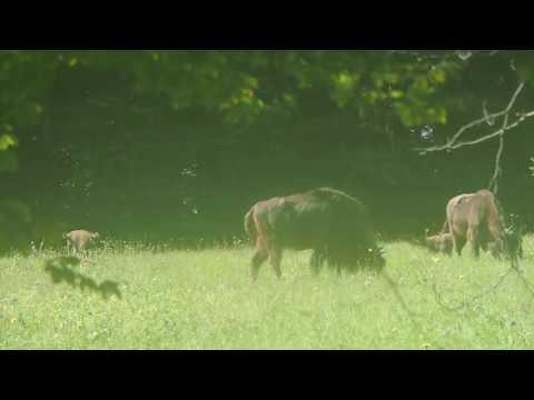 Patru pui de zimbru în Parcul Natural Vânători Neamț - European Bison in Romania