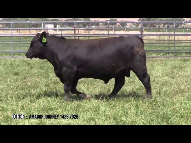 Mid Valley Bull Sale Lot 65