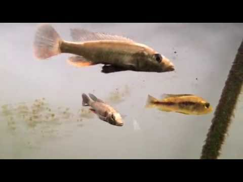 Hobbyist Fish Room Tour: Rare Lake Victorian Cichlids