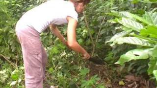 Izzy weeding/cocoa farming in ghana