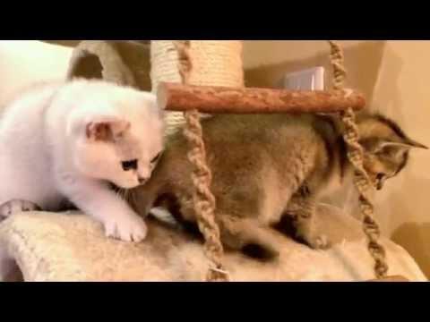 Абиссинские котята - Купить в Москве - YouTube