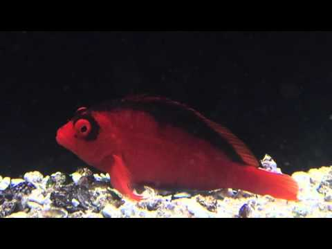 Species Spotlight Season 2 - The Flame Hawkfish -Episode 32