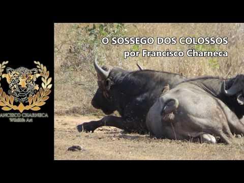 O SOSSEGO DOS COLOSSOS - FRANCISCO CHARNECA - WILDLIFE ART